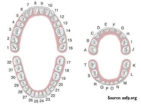 How teeth are numbered chart