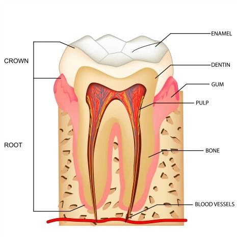 Human tooth anatomy of a molar